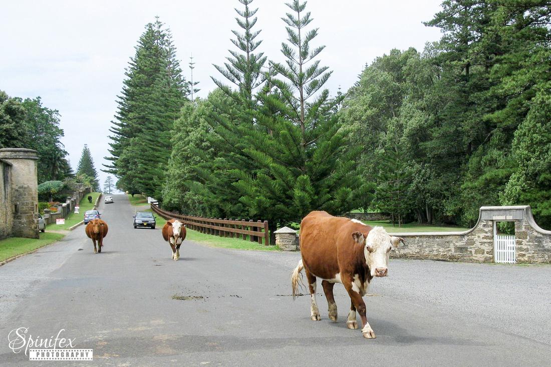 Sfx-Cows